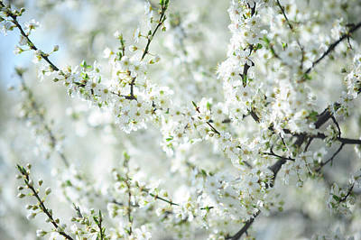 Photograph - White Bloom Of  Cherry Plum Tree  by Jenny Rainbow