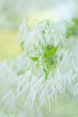 Photograph - White Bloom Of Fringetree by Jenny Rainbow