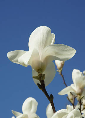 Photograph - White Blossom Blue Sky by Cate Franklyn