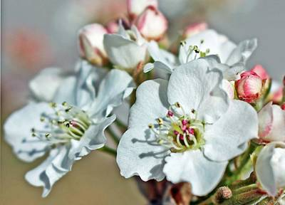 Wall Art - Photograph - White Blossoms by Cheryl Bishop