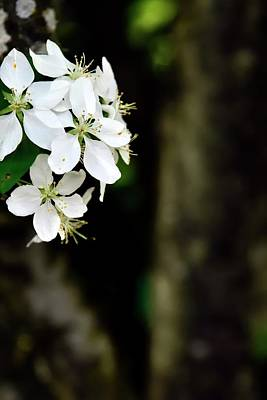 Photograph - White Blossoms by Jerry Sodorff