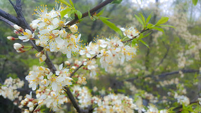 Photograph - White Blossoms On Fruit Tree by Lynn Hansen