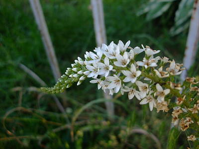 Photograph - White Blossums by Ali Dover
