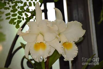Photograph - White Bow Bells by Jeannie Rhode