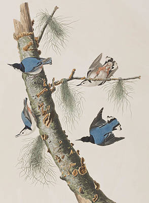 Bluebird Painting - White-breasted Black-capped Nuthatch  by John James Audubon
