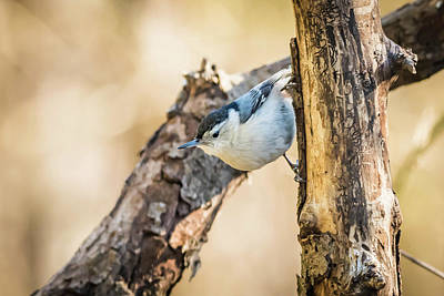Photograph - White Breasted Nut Hatch by Bruce Pritchett