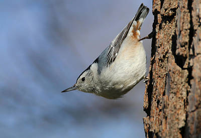Photograph - White-breasted Nuthatch 2 by Living Color Photography Lorraine Lynch