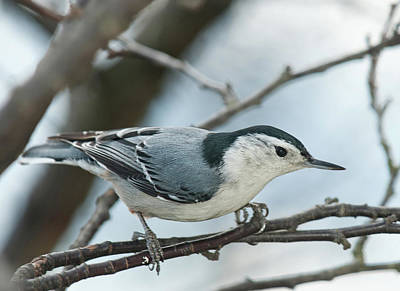 Art Print featuring the photograph White Breasted Nuthatch 2017 2 by Lara Ellis