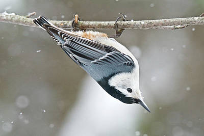 Popstar And Musician Paintings - White-breasted Nuthatch 9940 by Michael Peychich