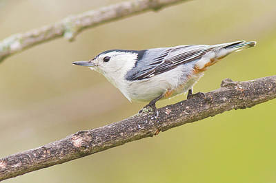 Photograph - White-breasted Nuthatch by Bernard Lynch