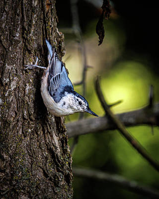 Art Print featuring the photograph White Breasted Nuthatch by Bob Orsillo
