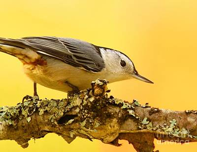 Photograph - White-breasted Nuthatch by Debbie Stahre