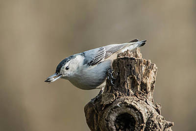 Photograph - White Breasted Nuthatch Img 1 by Bruce Pritchett