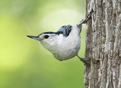 Photograph - White-breasted Nuthatch by Jim Zablotny