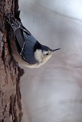 Berea Wall Art - Photograph - White-breasted Nuthatch by John Harmon
