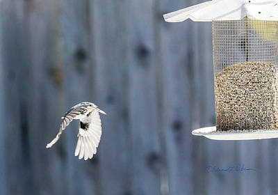 Photograph - White-breasted Nuthatch Leaving by Edward Peterson