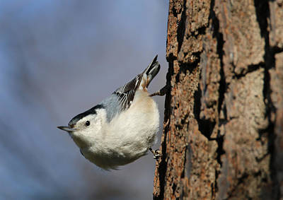 Photograph - White-breasted Nuthatch by Living Color Photography Lorraine Lynch