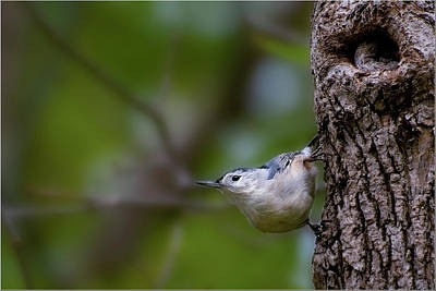 Photograph - White-breasted Nuthatch by Michel Legare