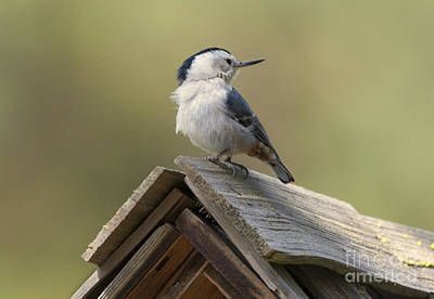 Birdhouse Photograph - White-breasted Nuthatch by Mike Dawson