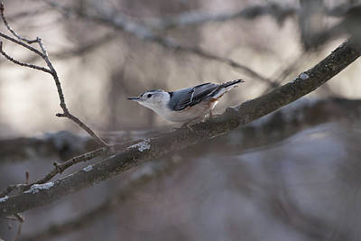 Photograph - White Breasted Nuthatch by Sherman Perry