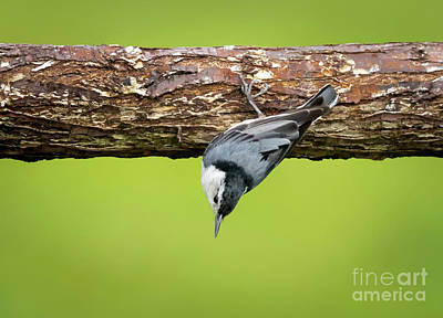 Photograph - White-breasted Nuthatches by Ricky L Jones