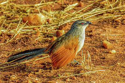 Photograph - White-browed Coucal by Marilyn Burton