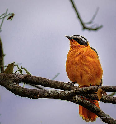 Photograph - White Browed Robin Chat-kenya by Tim Bryan