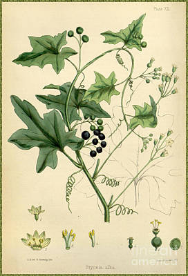 Painting - White Bryony From The Flora Homoeopathica  by Celestial Images