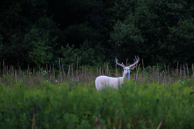 Photograph - White Buck In Field 2 by Brook Burling