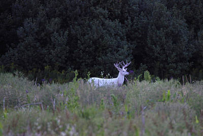 Photograph - White Buck In Field by Brook Burling
