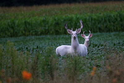 Photograph - White Bucks by Brook Burling
