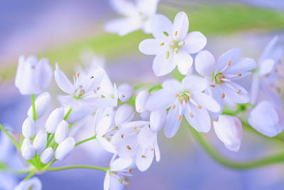 Photograph - White Buds by Giovanni Allievi