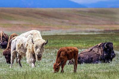 Photograph - White Buffalo by Dawn Key