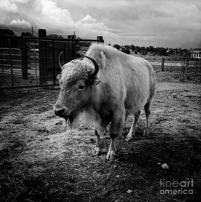 White Buffalo Art Print by Kathlene Pizzoferrato
