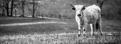 Photograph - White Bull Black And White by Karen Saunders