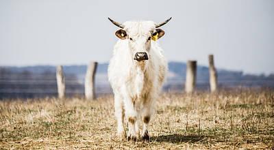 Photograph - White Bull by Karen Saunders