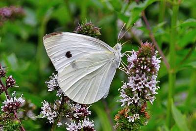 Photograph - White Butterfly At The Good Earth Market by Kim Bemis