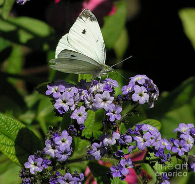 Photograph - White Butterfly by Louise Magno