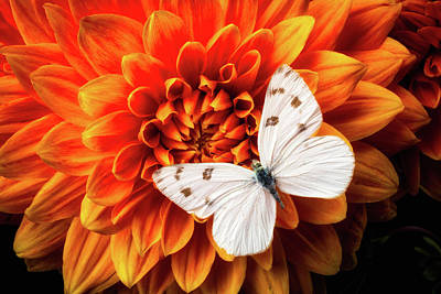 Photograph - White Butterfly On Dahlia by Garry Gay