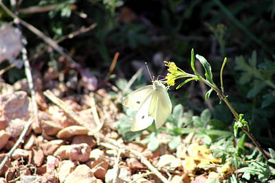White Butterfly On Goldenseal Art Print by Colleen Cornelius