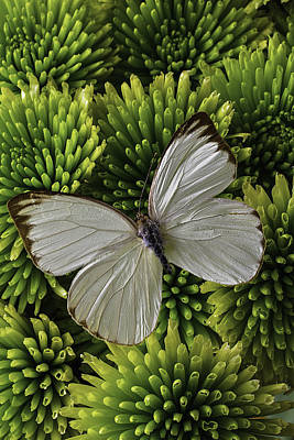 Pom Pom Photograph - White Butterfly On Green Poms by Garry Gay