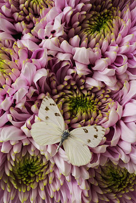 White Butterfly On Mums Art Print by Garry Gay