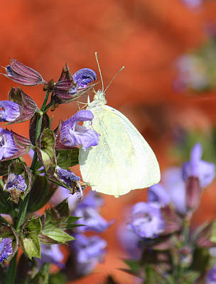 Winter Animals Royalty Free Images - White Butterfly on Sage Royalty-Free Image by Tammy Goad