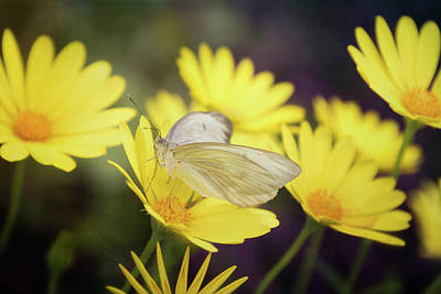 Photograph - White Butterfly On Yellow Daisies  by Saija Lehtonen