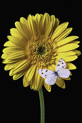 White Butterfly On Yellow Daisy Art Print