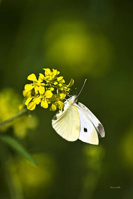 Photograph - White Butterfly On Yellow Flower by Christina Rollo