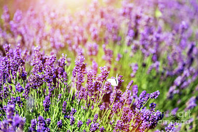 Photograph - White Butterfly Sitting On Lavender Flower. by Michal Bednarek