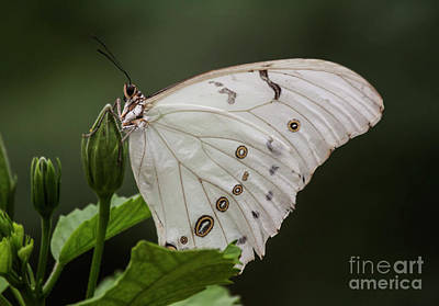 Photograph - White Butterfly Surrounded By Green by Ruth Jolly