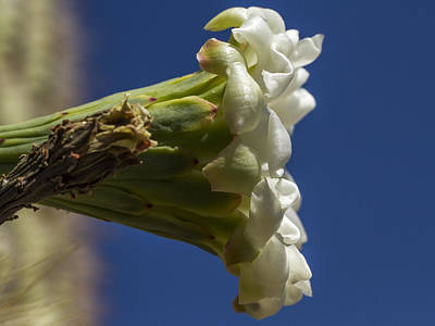 Photograph - White Cactus Flower by Jean Noren