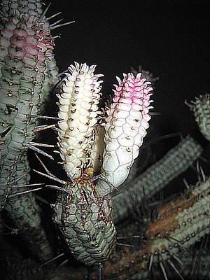 Photograph - White Cactus by John King